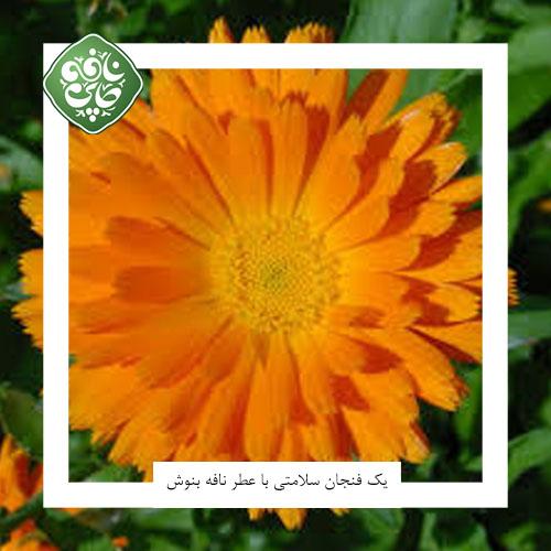 آشنایی با دمنوش گل همیشه بهار